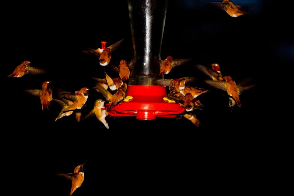 Hummingbird feeding frenzy, Valemount B.C.