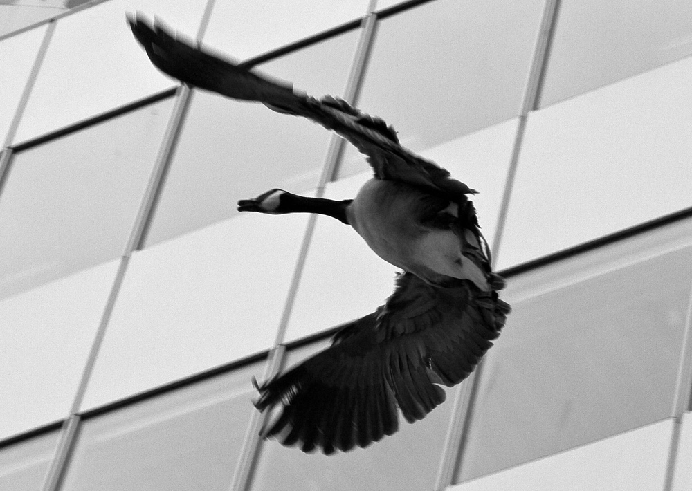 Canada Goose Vancouver B.C.