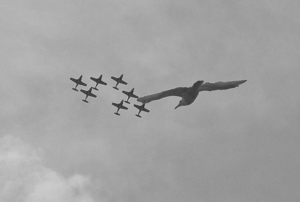 """Snowbirds"" with Gull, Victoria"
