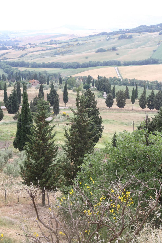 Cypress, Tuscany