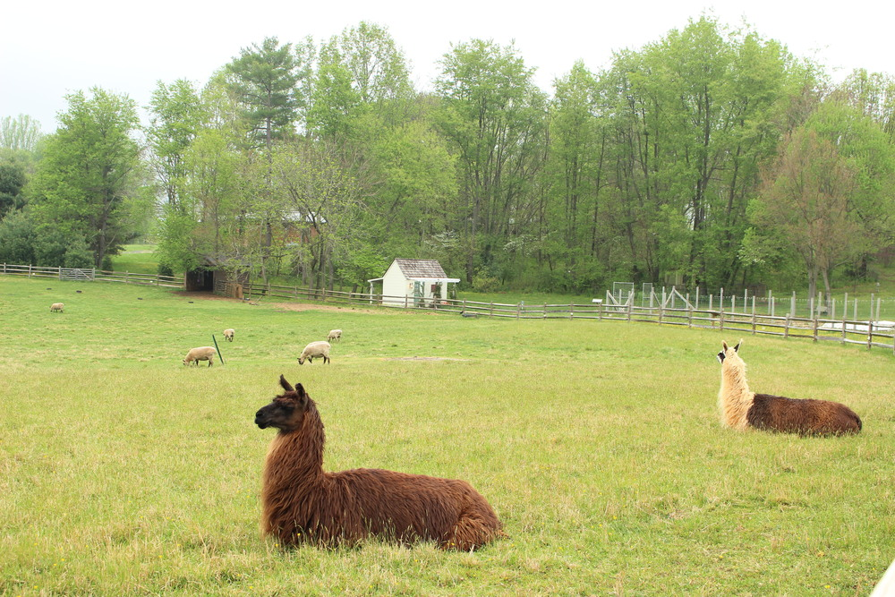 Foreground: New llama. Background: Same llama as before. IMPORTANT LLAMAS.