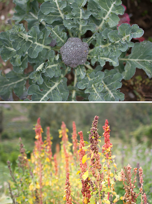 Broccoli (above) quinoa (below)