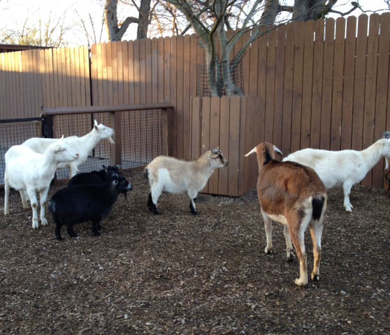 These goats were all lined up, waiting to go inside for the night.