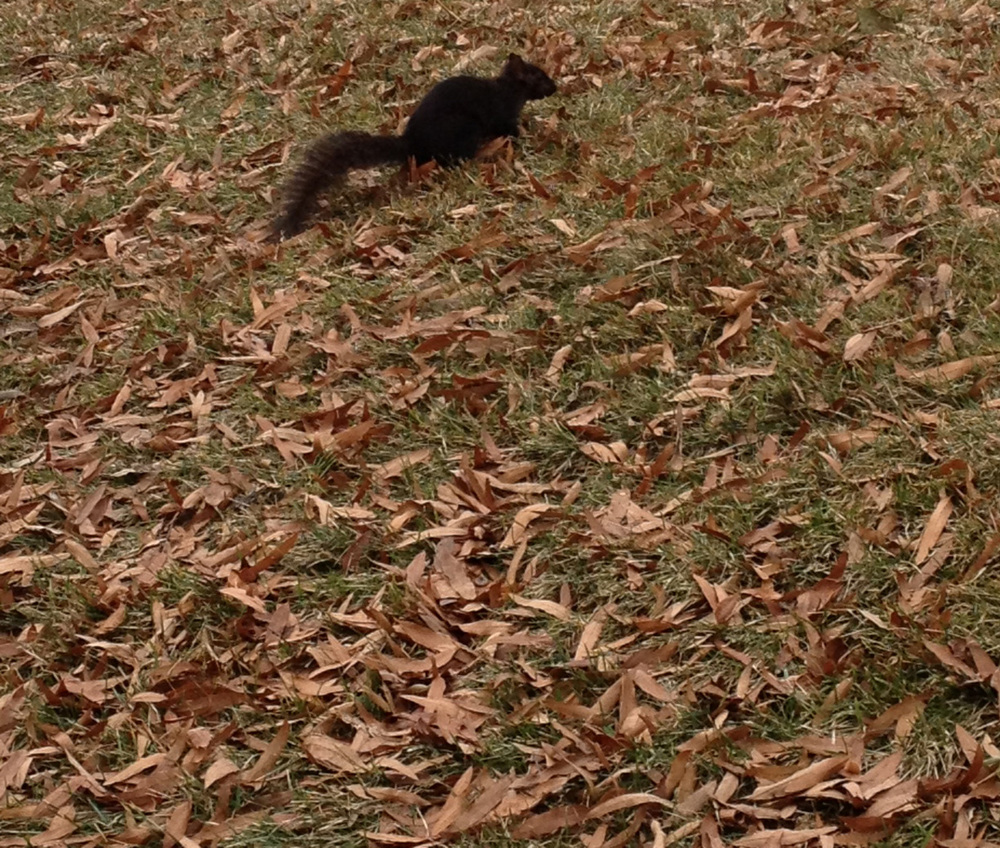 washingon blk squirrel.jpg