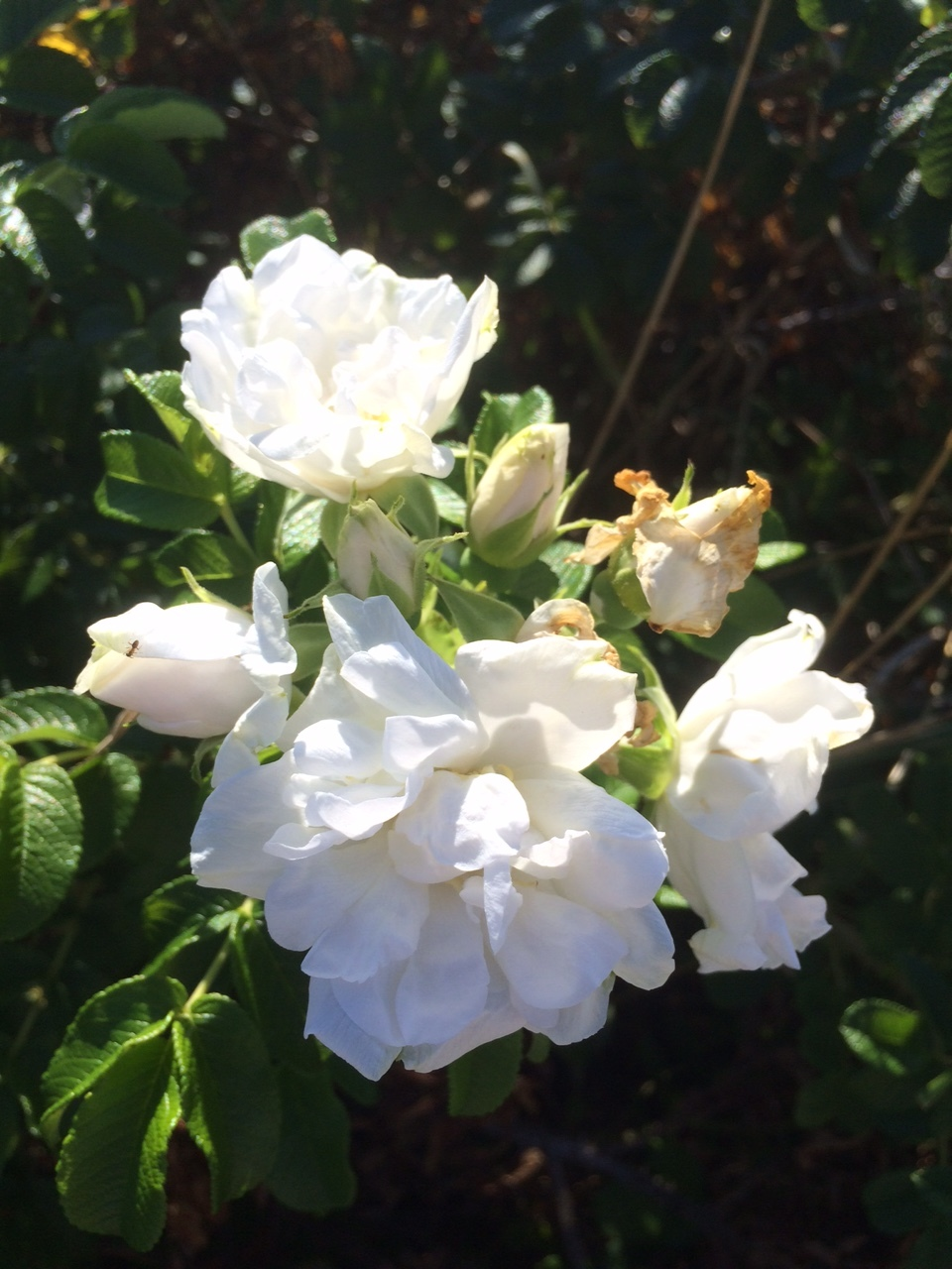 Beach Roses are blooming their last blooms. They smell amazing.
