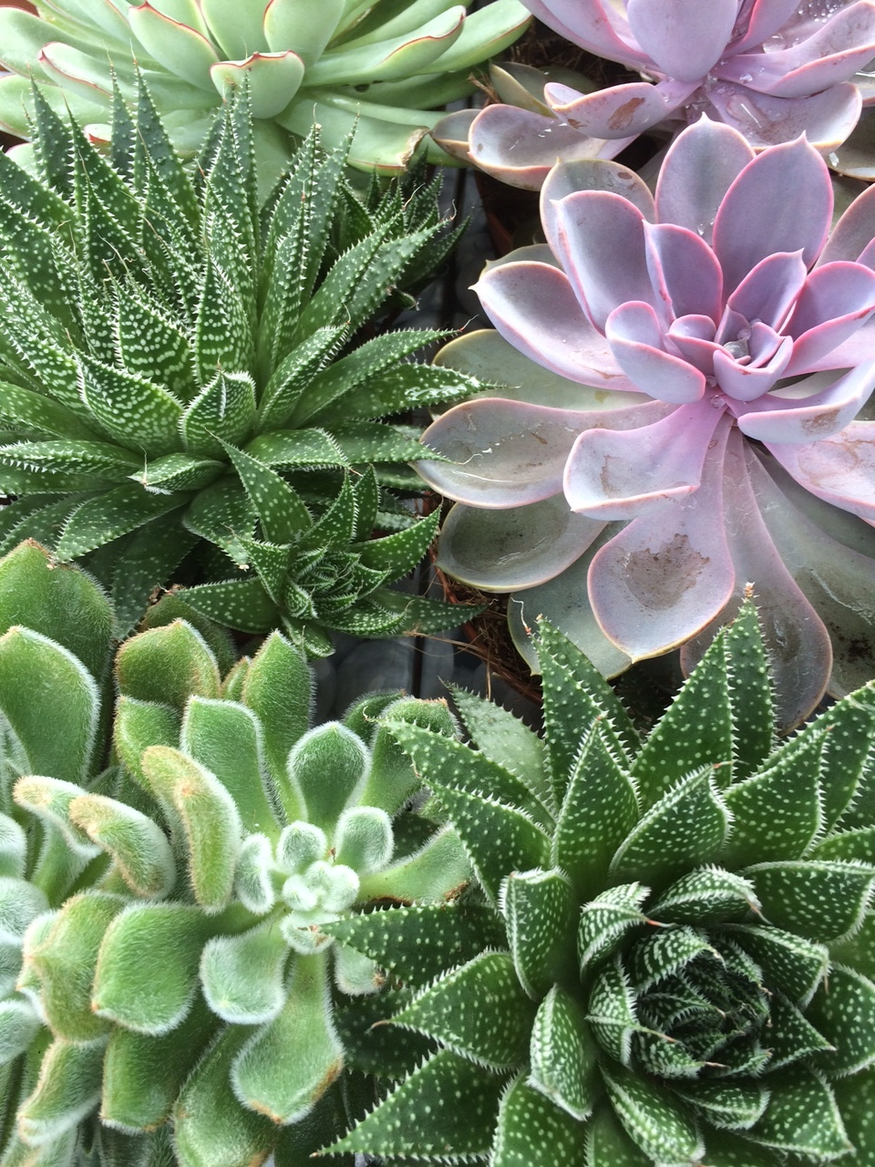 My husband doesn't like succulents but I'm planning on buying some up after seeing them at Sunset Farms, our favorite local nursery.