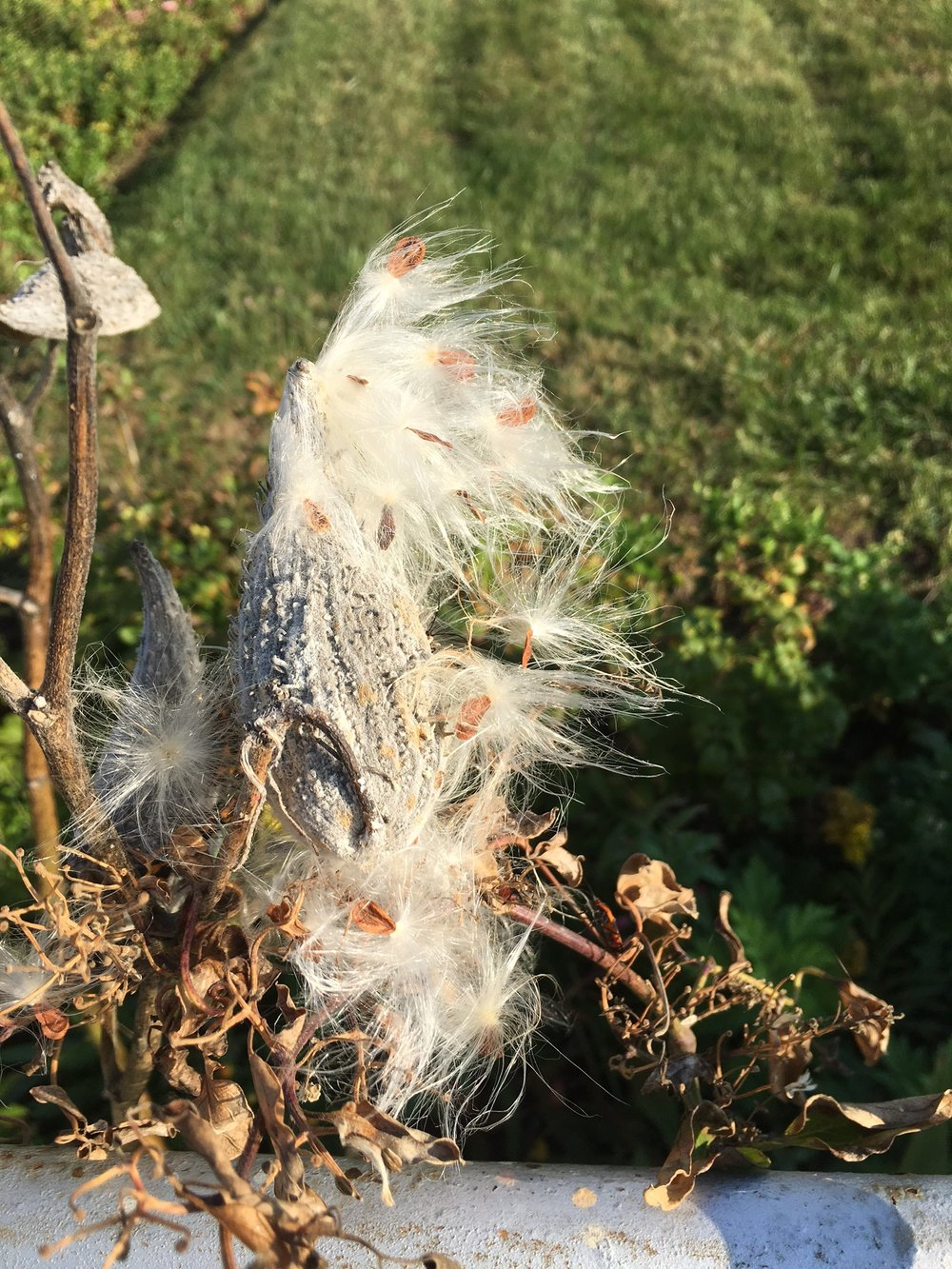 Milkweeds are weeping their seeds for next years monarchs.