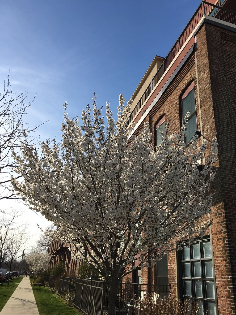 Trees are blooming all over town!