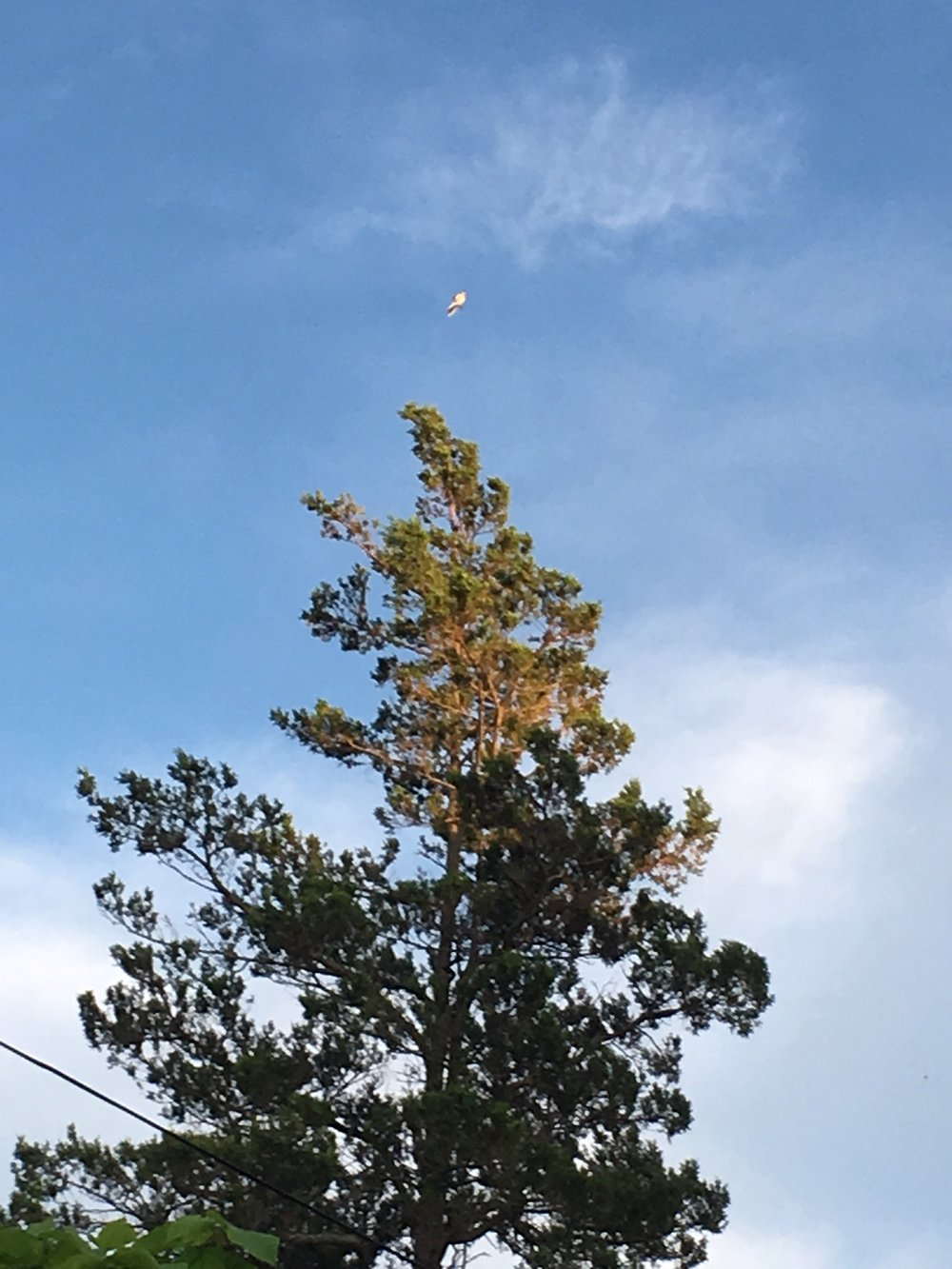 And lastly, my favorite pine behind our house. The white speck is a mocking bird that was sitting in the tippy top branch and performing a complicated ritual.