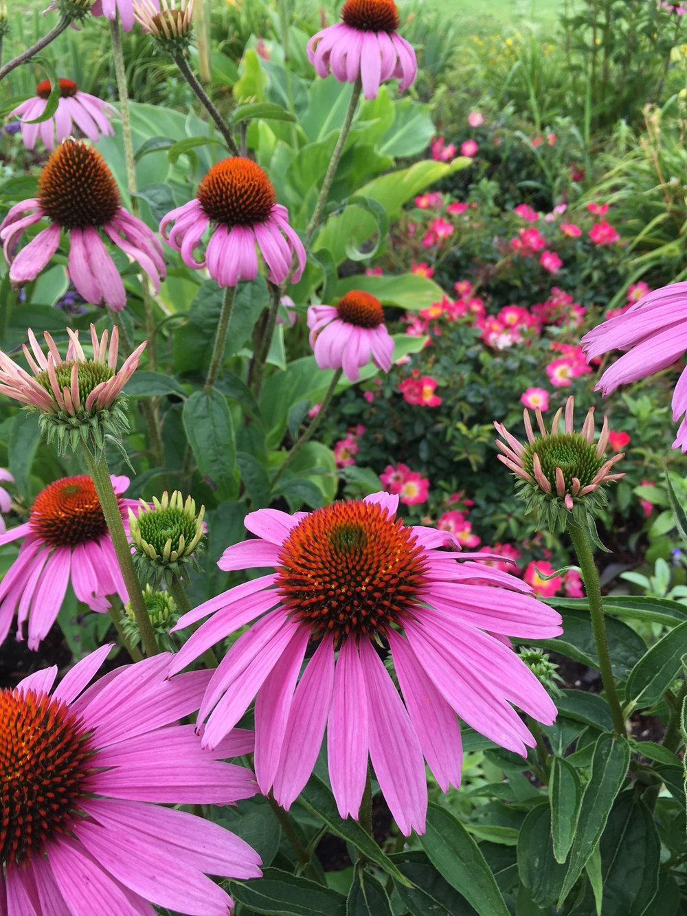Echinacea on Ocean Pathway in Ocean Grove.