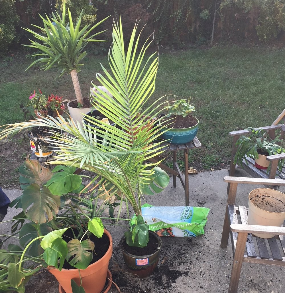 Repotting, and maintaining out indoor plants for Winter.