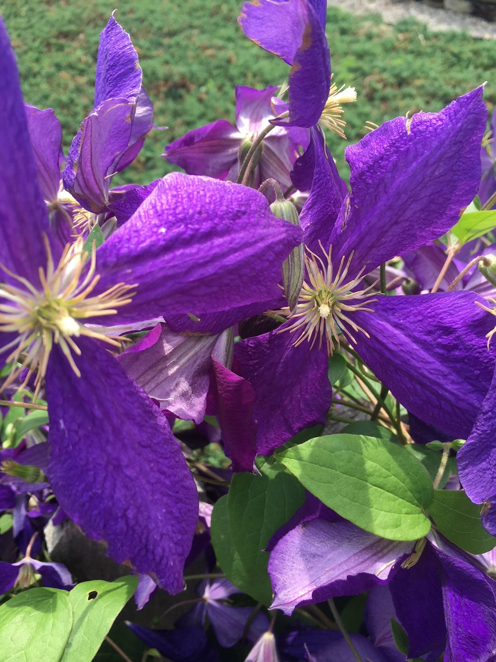 I love clematis! So pretty!