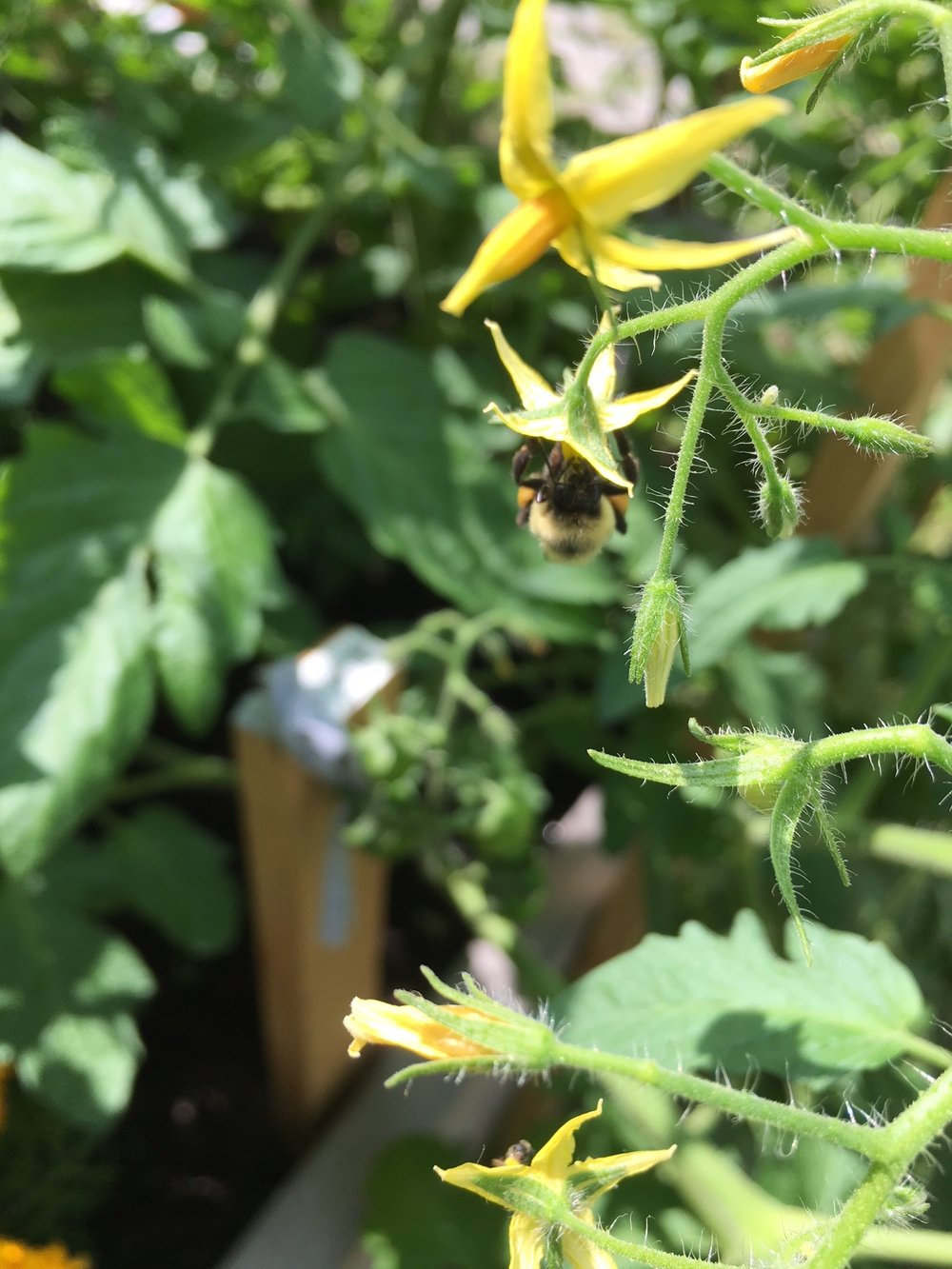 This bee is doing all the good work in our garden!