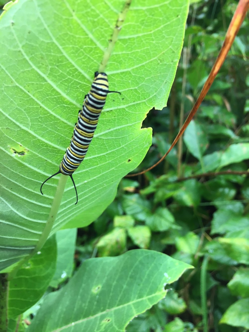 Monarch caterpillar!