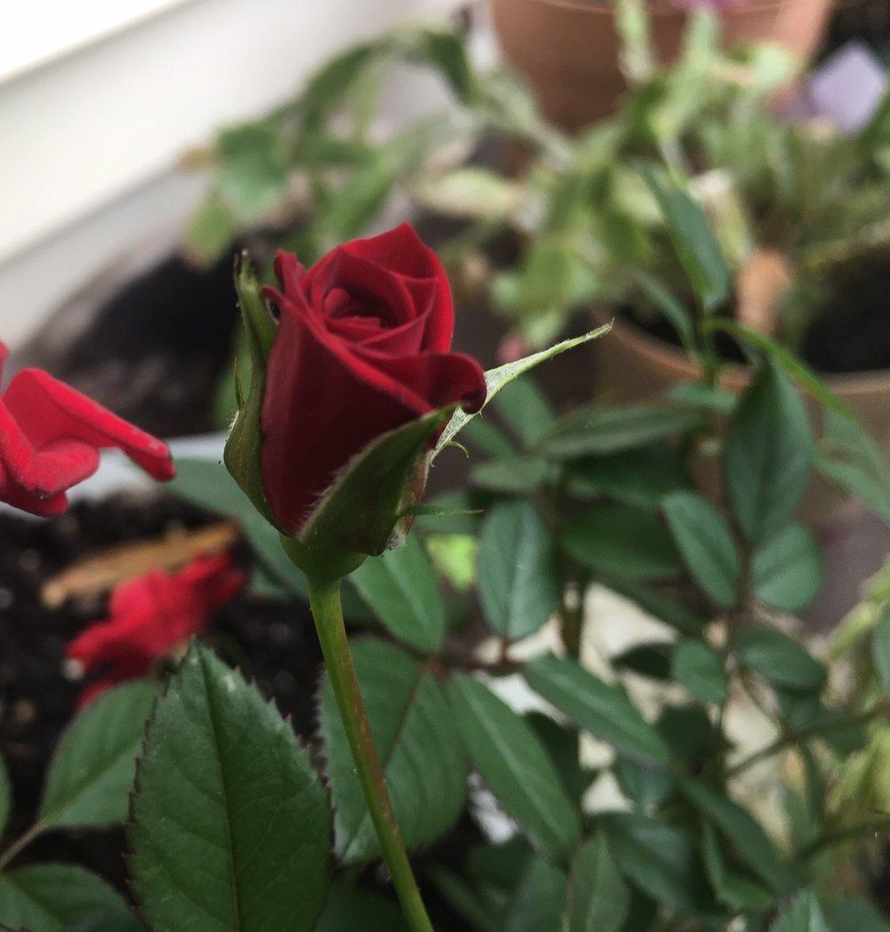 Perfect rose.