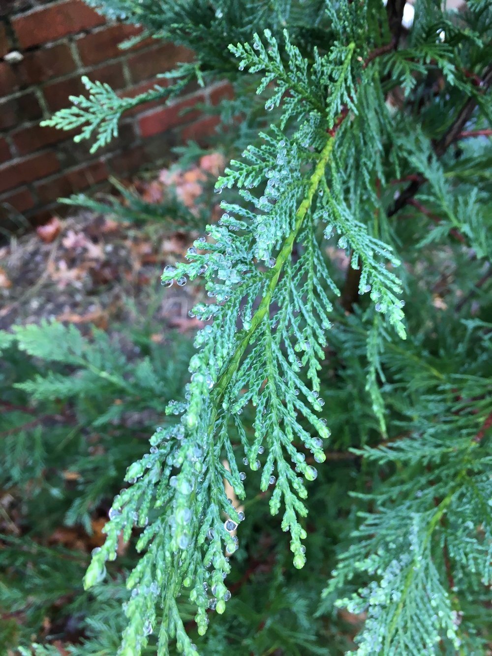 The pines are happy in the yard.