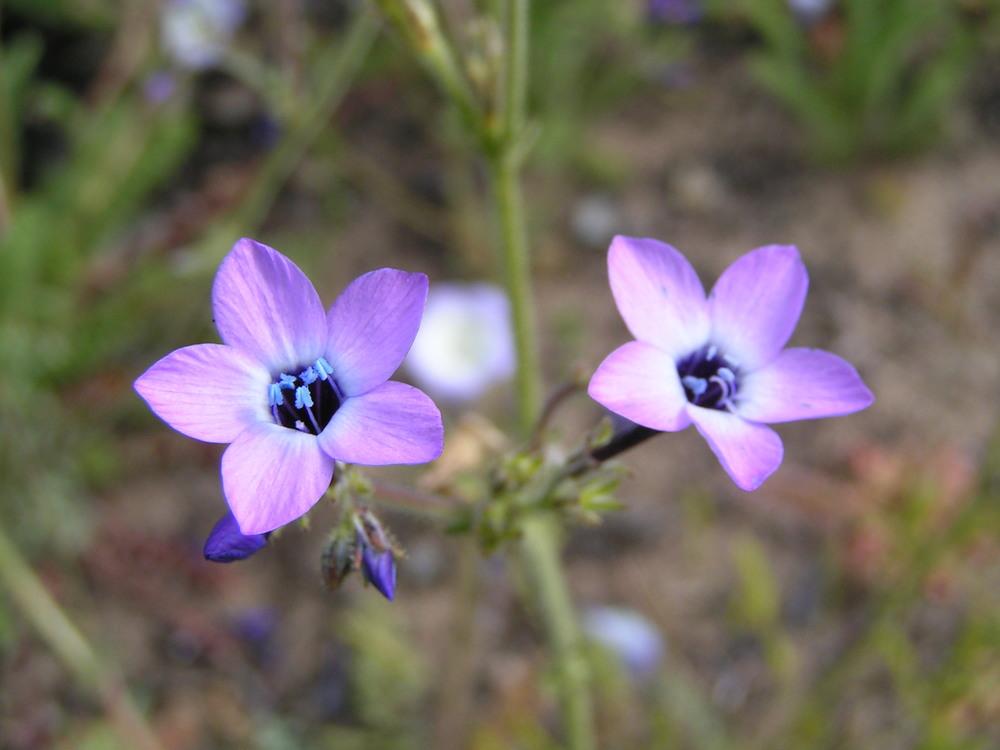 Gillia tenuiflora ssp arennia1.JPG