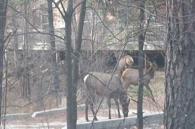 Elk wandering trough the village.