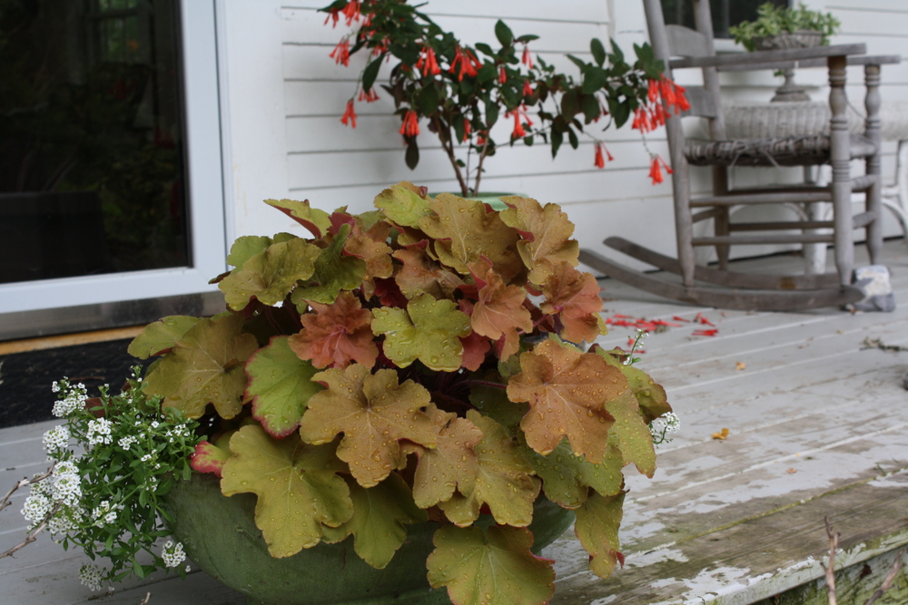 Heuchera 'Caramel' in full shade, potted fuschia blooming near door. This is on the north side of my covered porch which gets no direct sun.