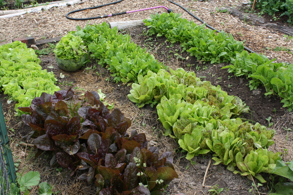 lettuces, spinach, and chard