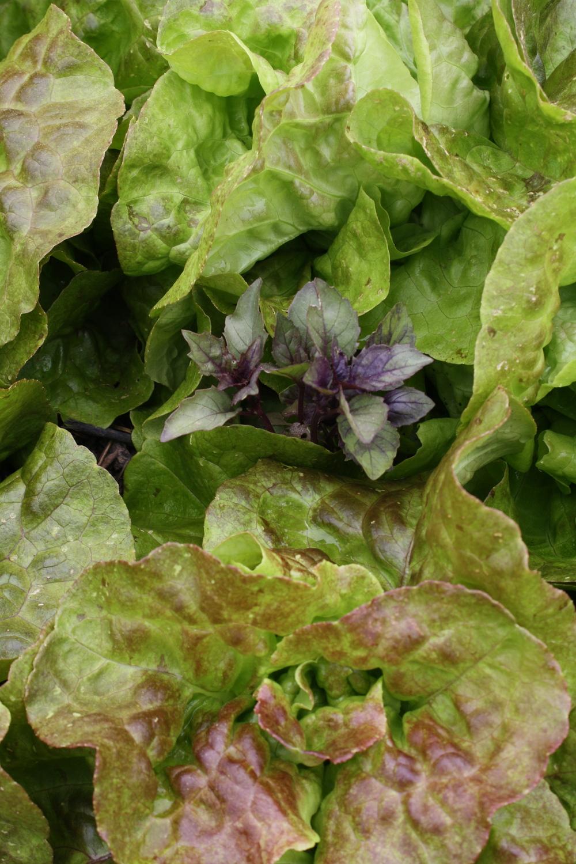 'Pirat' butterhead interplanted with 'Aromatto' Basil