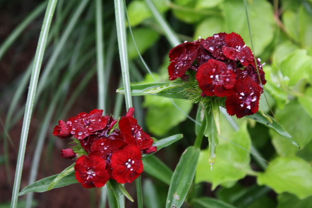 Dianthus 'Sweet Black Cherry' puny but cute