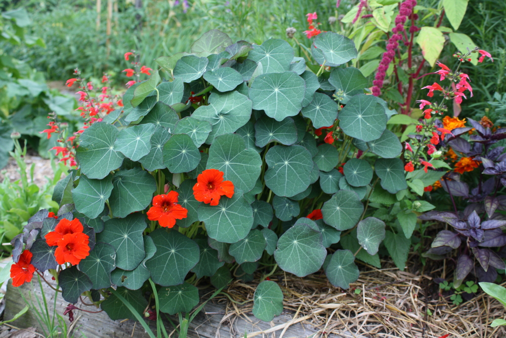 Nasturtium 'Empress of India'