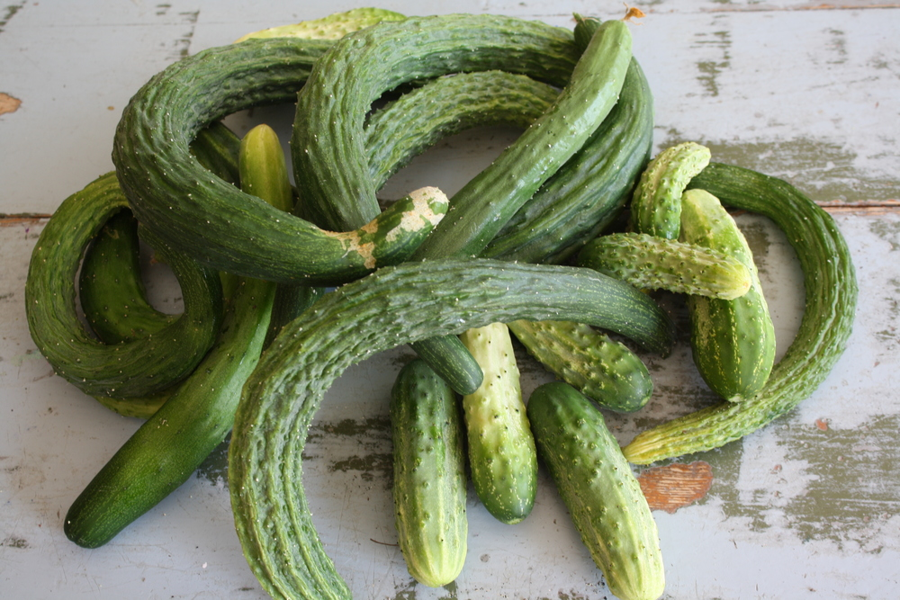 Cucumbers 'Suyo Long', 'Tasty Jade' (Asian variety, winner of our taste tests!), 'Northern Pickling'