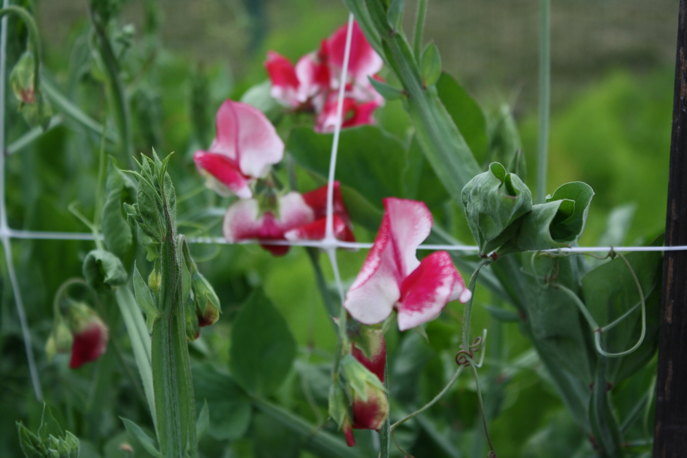 Sweeet Pea 'Chocolate Streamer'