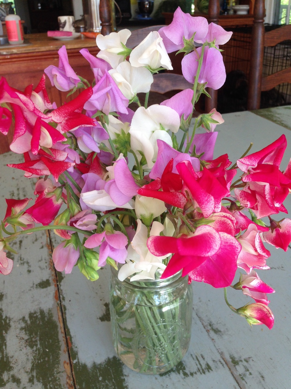 Sweet peas 'Mammoth Mix' and 'Chocolate Streamer'