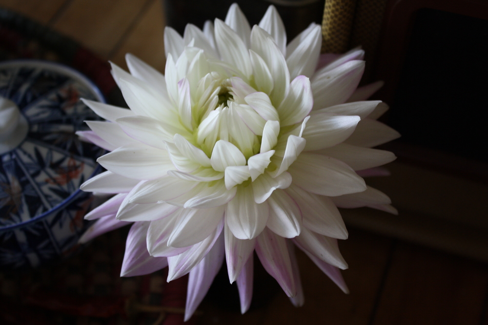beautiful, soft dahlia