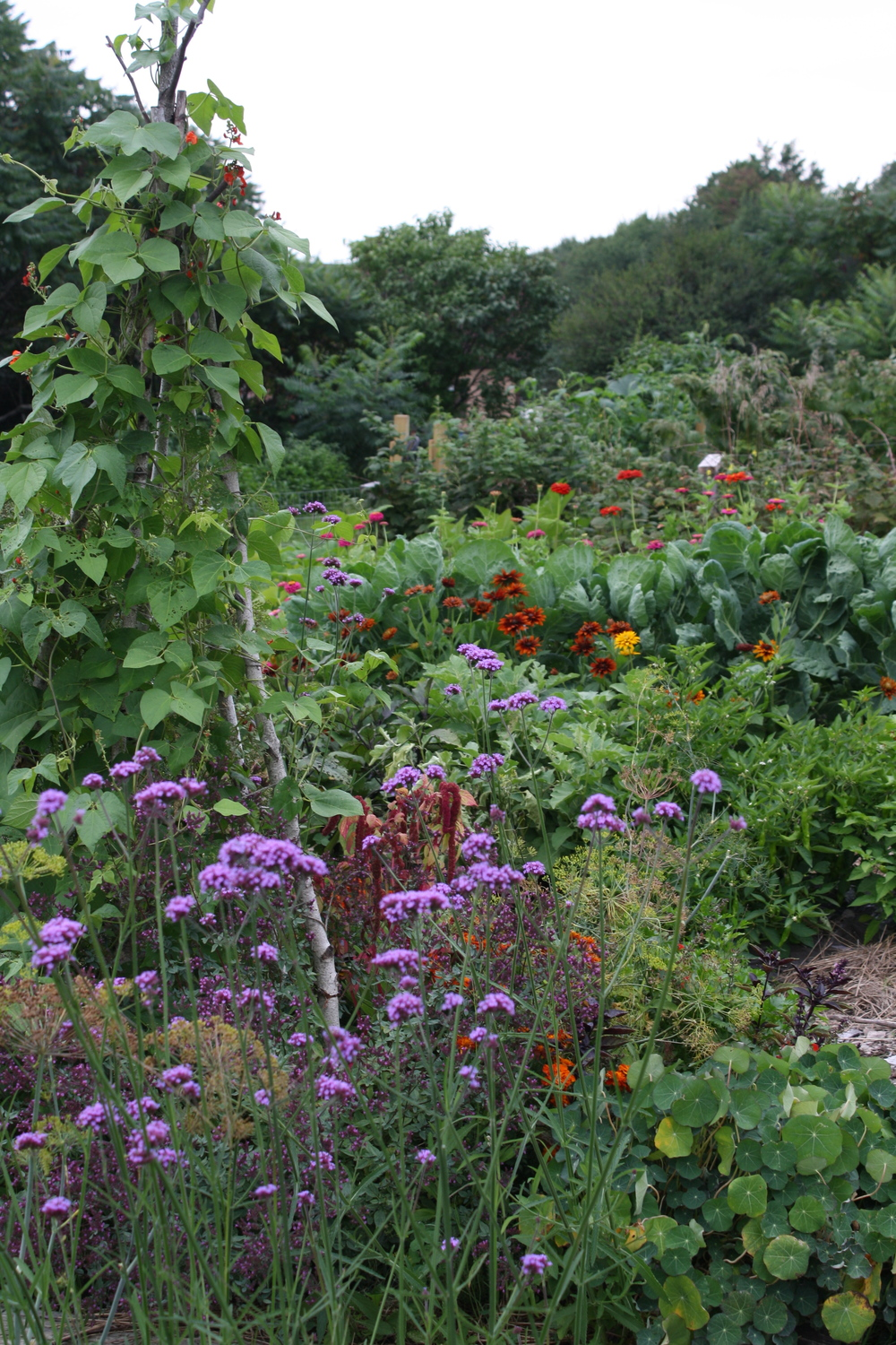 Scarlet Runner Beans (dating back to Jefferson's revolutionary garden at Monticello!) on teepee, Verbena bonariensis in foreground, zinnias, rudbeckia, brussels sprouts in back