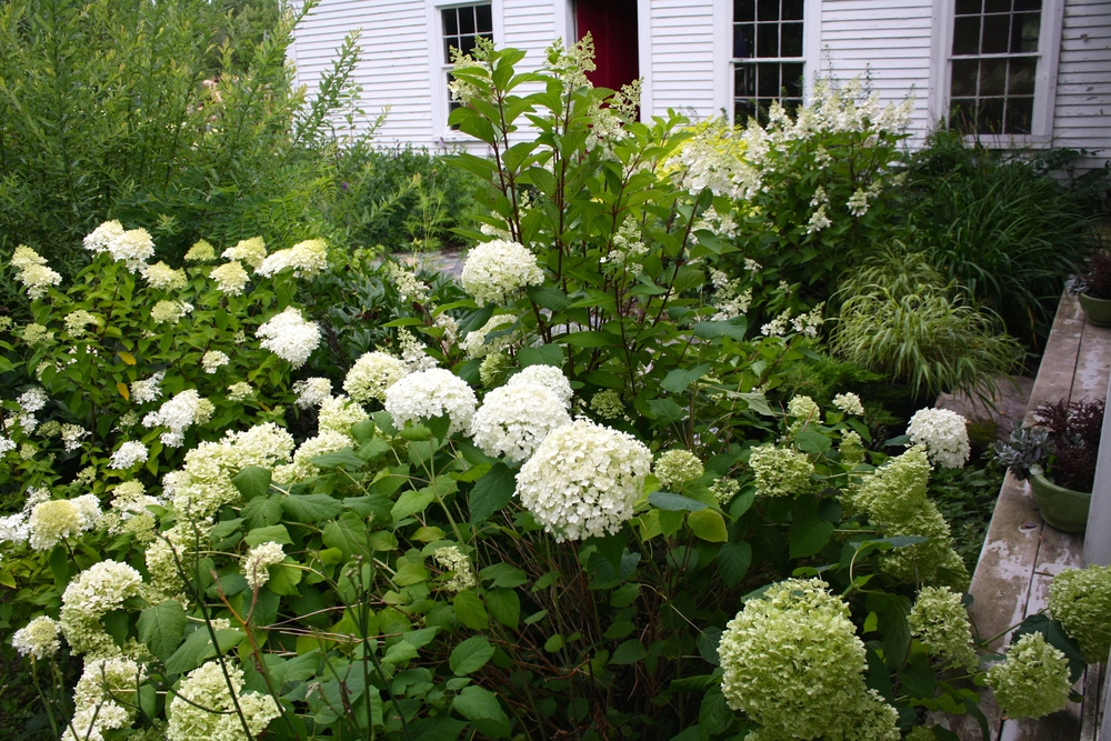 A tapestry of hydrangea; 'Limelight', 'Annabelle', 'Pinky Winky'