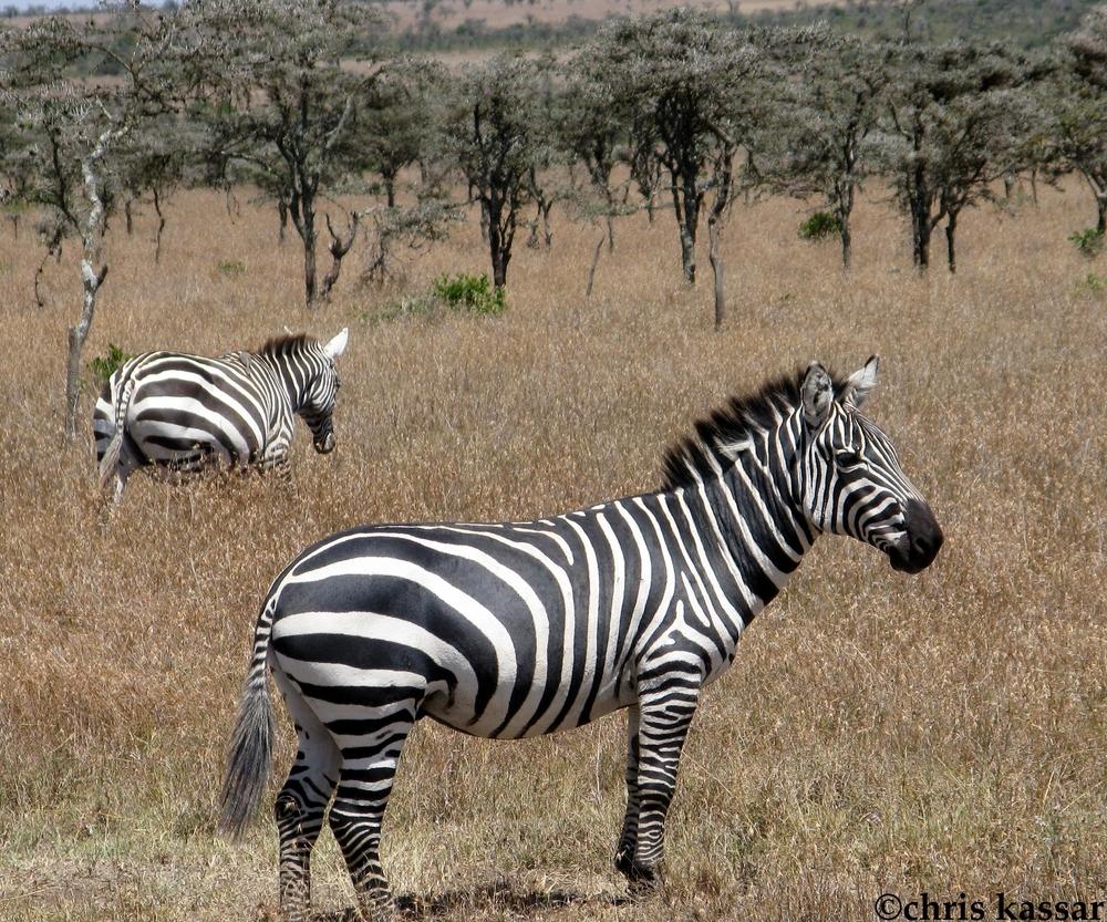 zebra_africa.jpg
