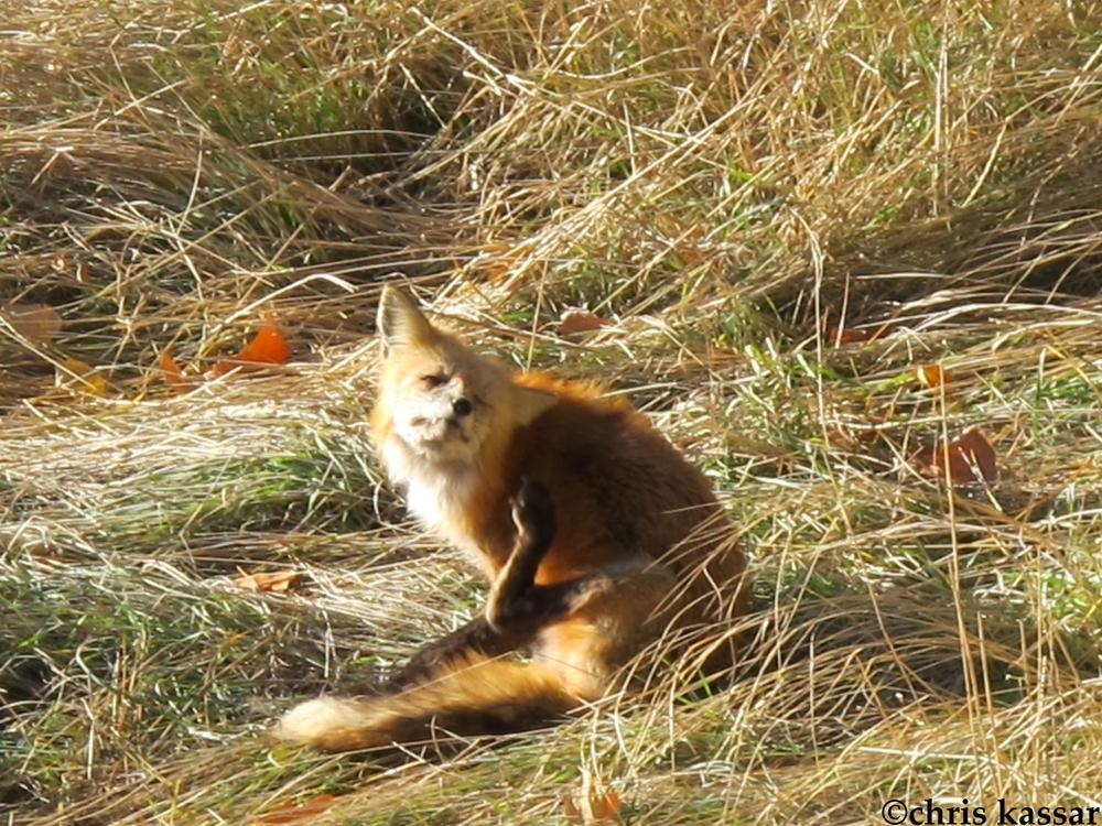 colorado_fox (2).jpg