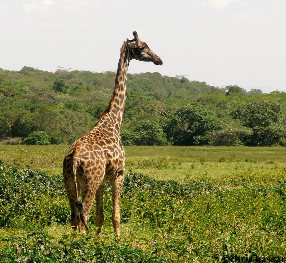 giraffe_africa (2).jpg