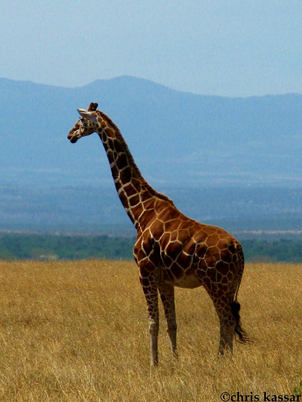 giraffe_africa.jpg