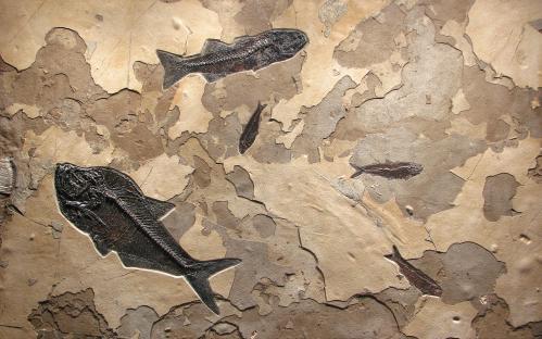Mioplosus-Knightia-Mural-Fossil-Art~Q110620015cm.jpg