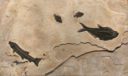 Notogoneus-Diplomystus-Priscacara-Fossil-Mural~Q060822005cm.jpg