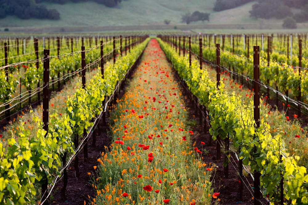 001_001_Poppies_Vineyard.jpg