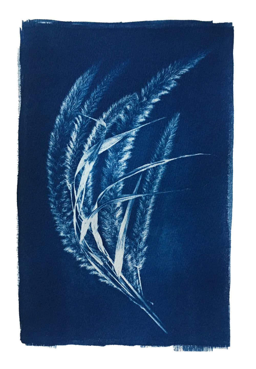 "TITLE /  Bristlegrass Fan  MEDIUM /  Cyanotype Print, Printed on 100% Cotton Paper  SIZE /  10"" x 14""  PRICE /  $375.00"