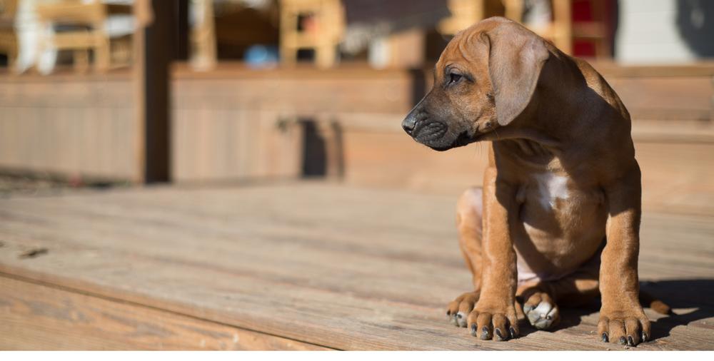 Rhodesian Ridgeback Puppy 5