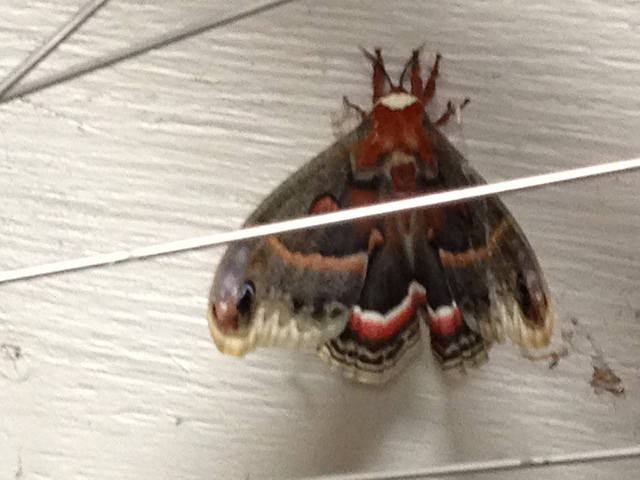 Ok...so technically this is a giant Michigan moth, but hey, it looks like a butterfly!