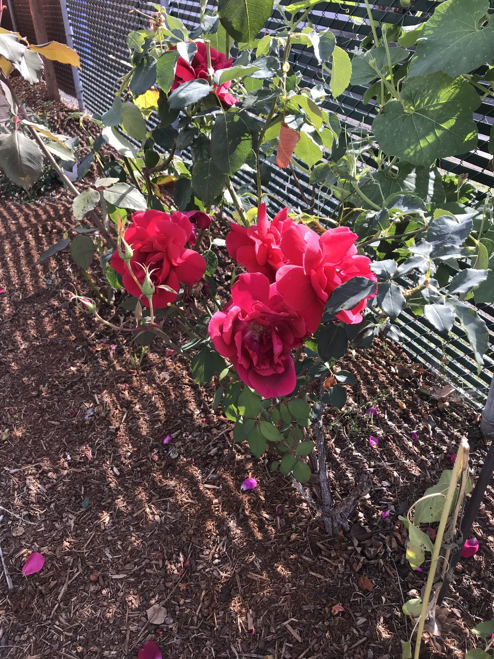 This rose bush is a California transplant, that made it's way to Oregon back in 2001