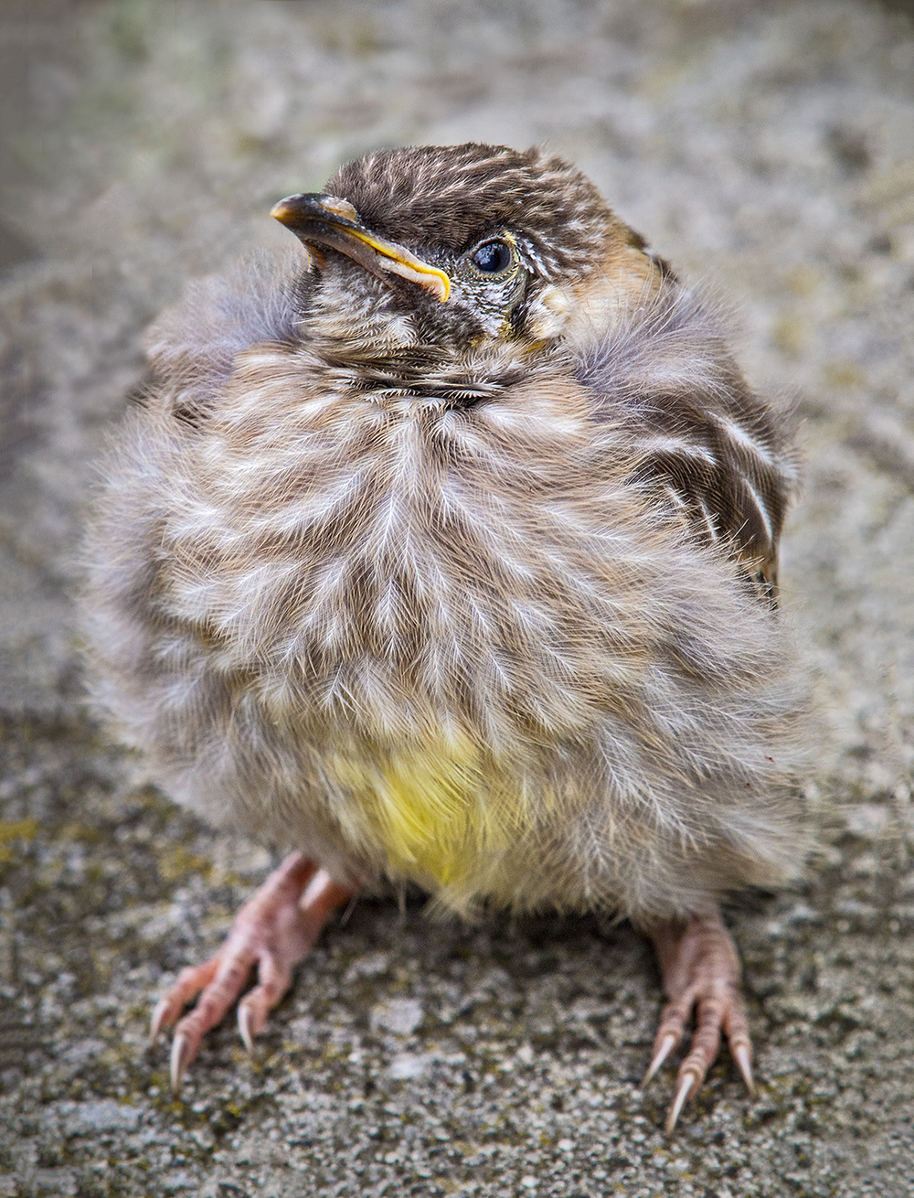 fledgling 2.jpg