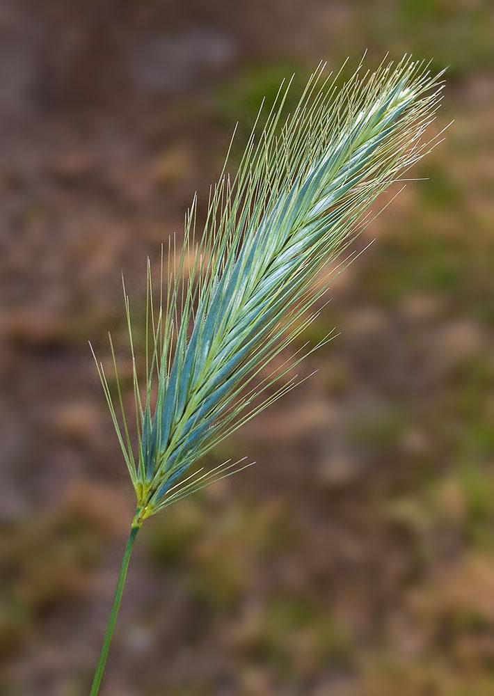 20131230 Arrow grass-2.jpg