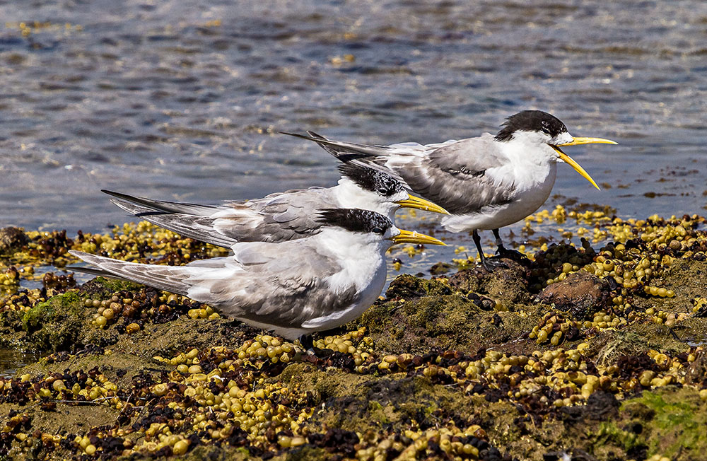 Crested Terns.jpg