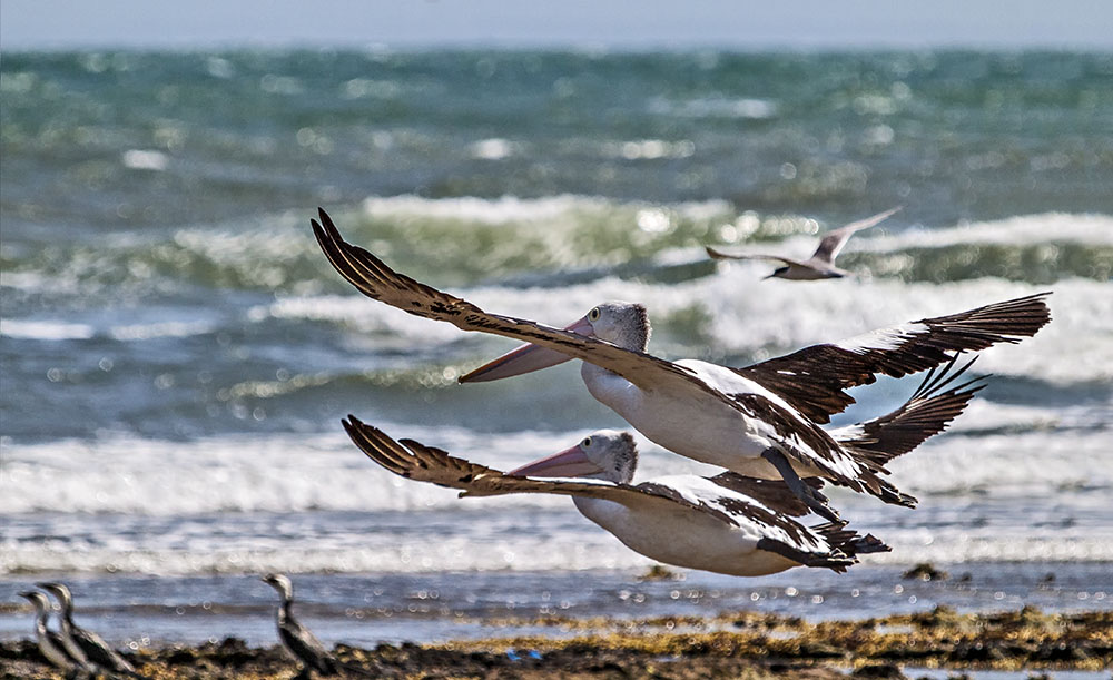 Flight of the pelicans.jpg