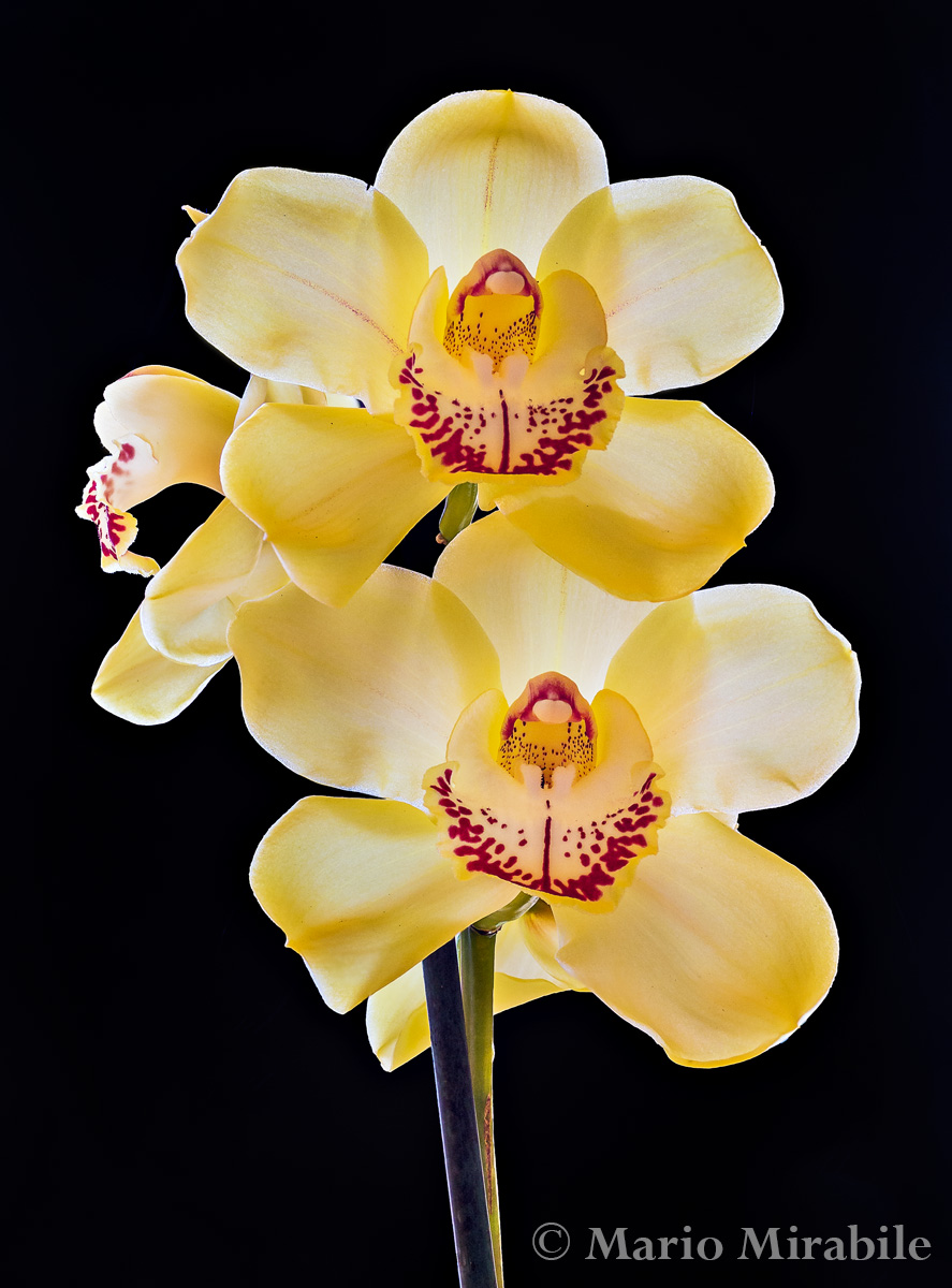 Cymbidium Lunar Advent copy.jpg