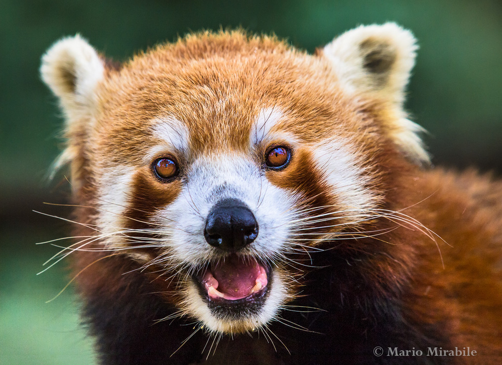 Red panda copy.jpg